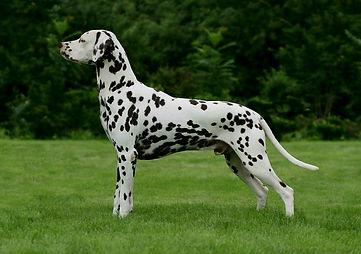 Our Dalmatians
