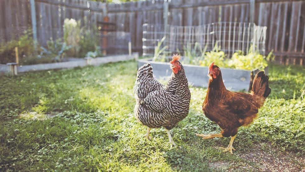 backyard hens.jpeg