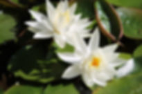 canva-water-lilly,-flower,-water,-pond,-
