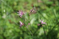 Silène à fleur de coucou