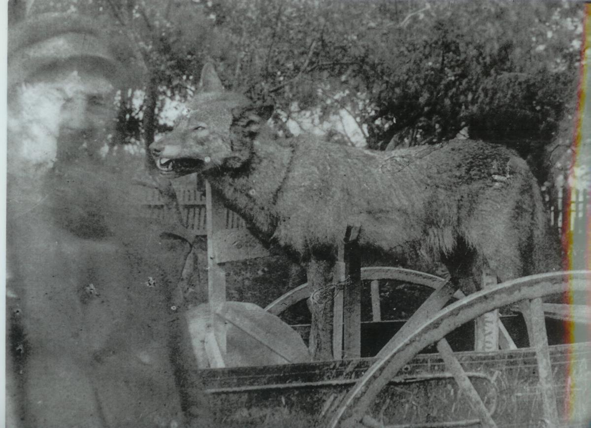 La photo du loup