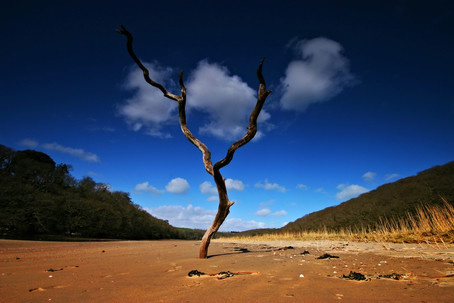 Dead tree in the sand.