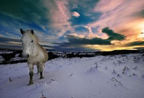 Dartmoor pony in snow.