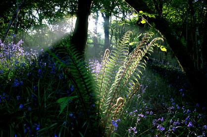Ferns and sunburst Meldon.