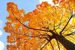 Maple-Tree-101.jpg