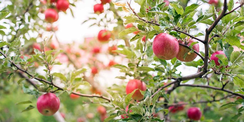 Ancient Tree Ceremony: Apple