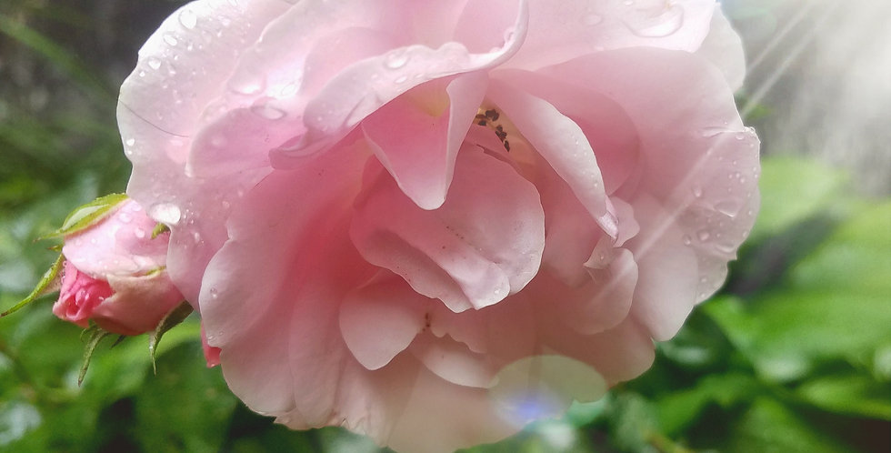 Pink Rose ~ I am Divine Love