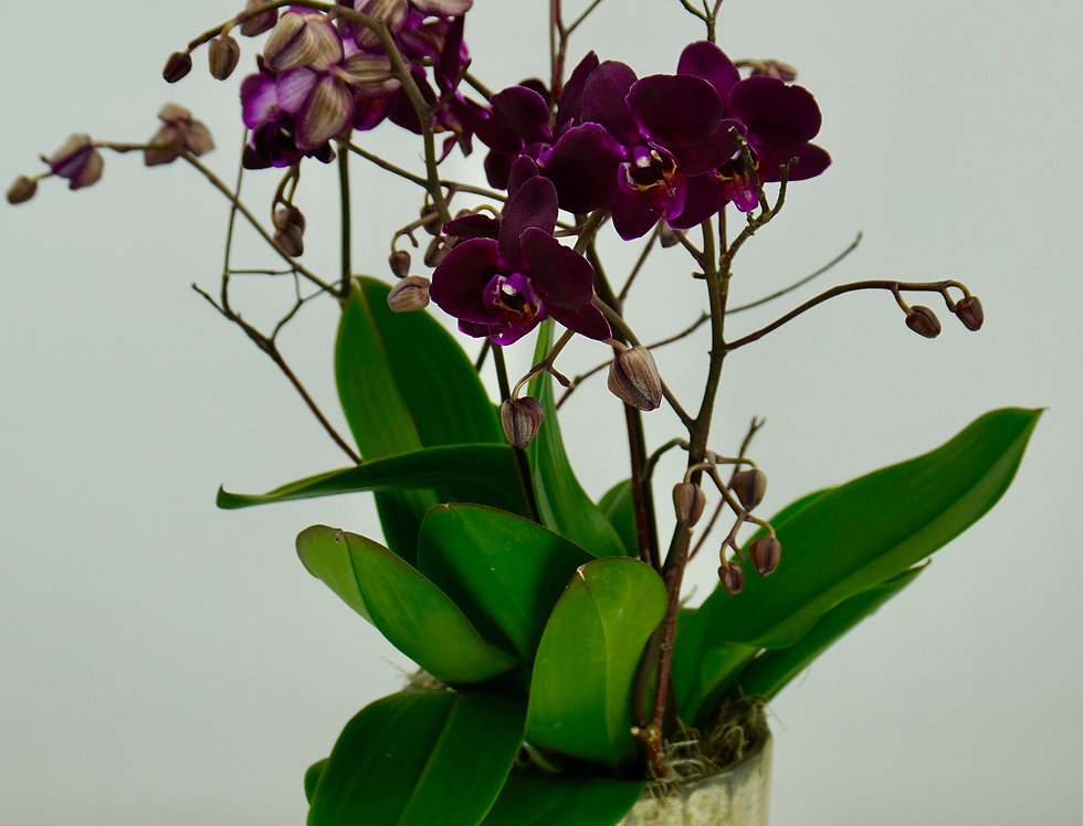 JUMBO ORCHIDS IN ART DECO GLASS
