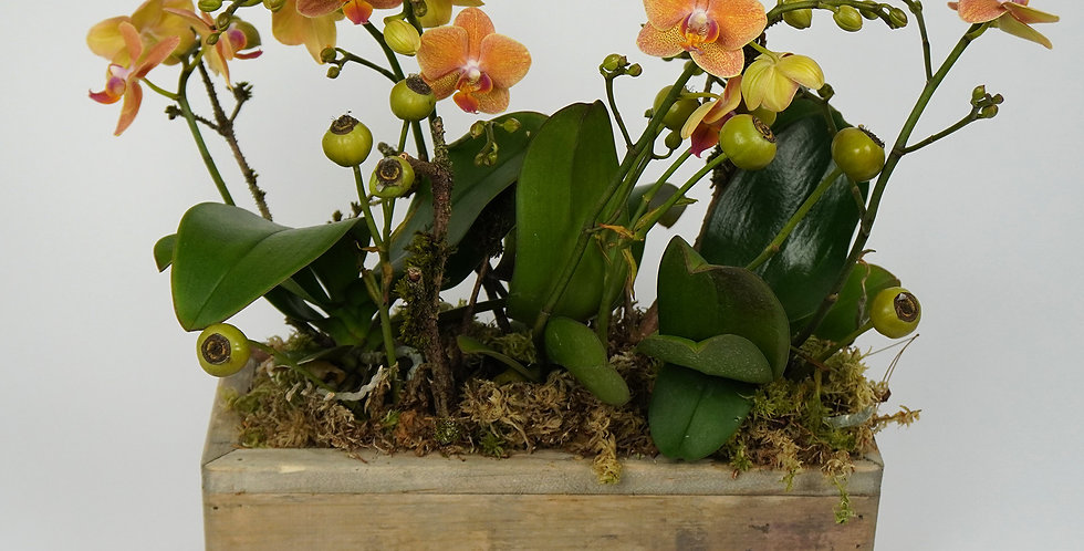 Mini Phalaenopsis in wooden box