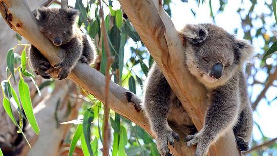 koala eucalyptus.jpg