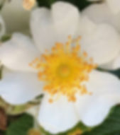 Glendon Beach Rose.jpg