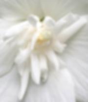 Rose of Sharon white