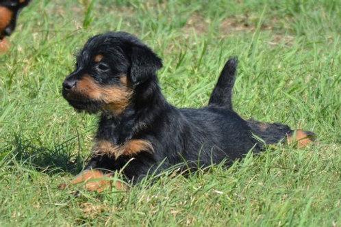 Jagd Terrier Puppy Balance