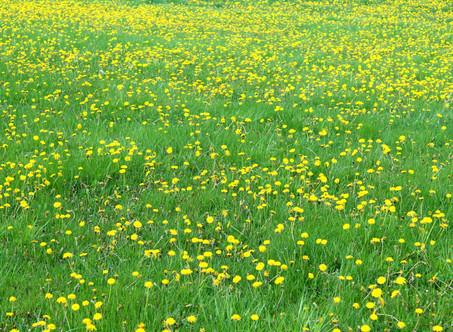 Dandelion seeds and midlife