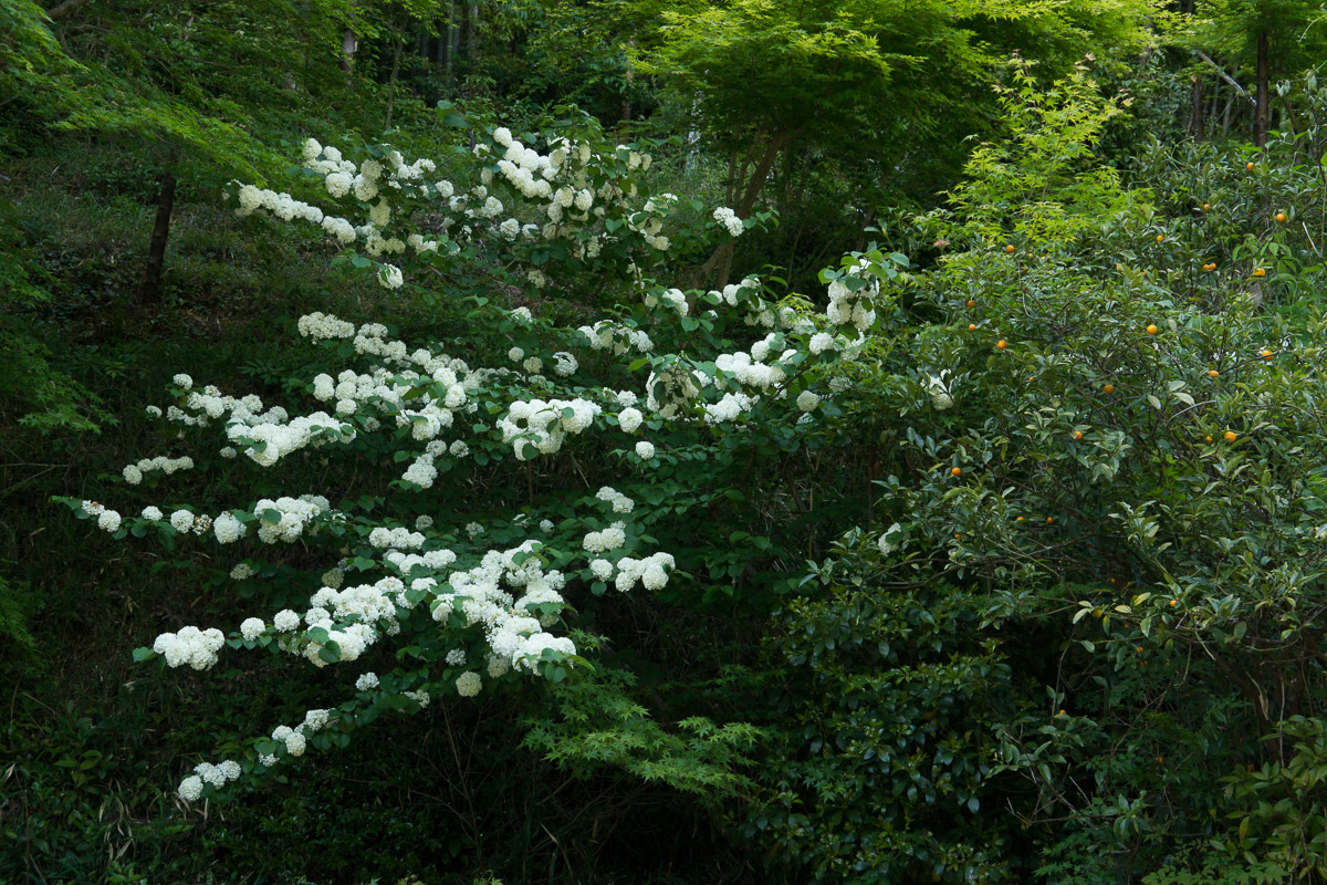 大手毬の花