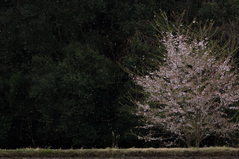 桜の散る頃