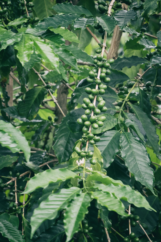 アイカネコーヒー農園