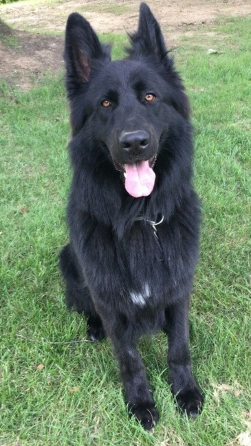 solid black long coat german shepherd ze