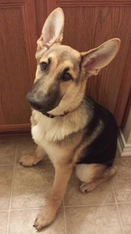 5 mnths old fashioned german shepherd, wolfgang haus german shepherds Tx.jpg