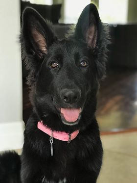 Znezi Brahm female long coat solid black german shepherd puppy