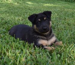 large black and tan standard coat german shepherd puppy