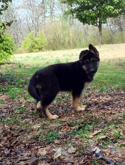 Lennon 11 weeks extra large black and cream german shepherd, wolfgang haus germa