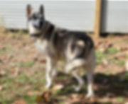 silver sable wolf mask german shepherd.J