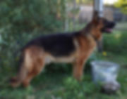 the rock extra large german shepherd.JPG