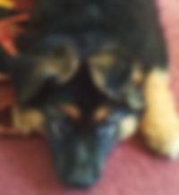 german shepherd puppies for sale in texas
