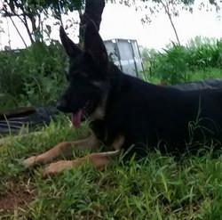 bleau and Ruger large female german shepherd puppy TX.jpg