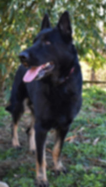bicolor german shepherd veda.JPG