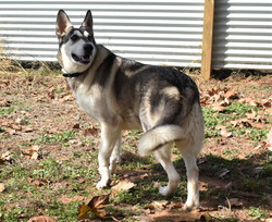 silver sable wolf mask german shepherd