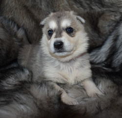 silver sable wolf mask german shepherd puppy for sale in tx