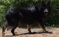 long coat bicolor german shepherd dog in