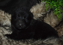 brown collar solid black boy (1)