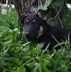 Roma and hailock black and tan german shepherd puppy for sale in texas