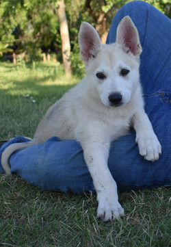 Roma and Hailock male puppy 9 weeks old, light silver sable reverse mask german shepherd puppy for s