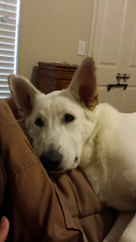 white german shepherd male, wolfgang haus german shepherds.jpg