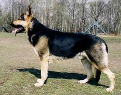 Storm and hailock black and tan german shepherd, wolfgang haus german shepherds