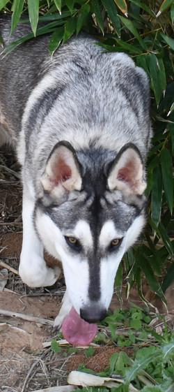 wolf looking akc german shepherd