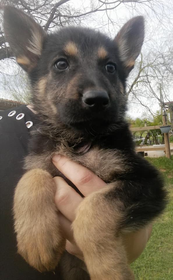 black and tan german shepherd puppy for