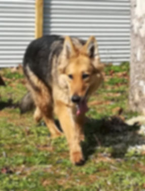 long coat sable maskless german shepherd