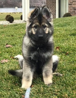 long haired sable german shepherd puppy.