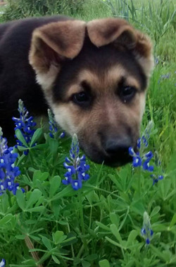 Texas german shepherd puppy, giant german shepherd puppies of TX, san antonio texas german shepherd