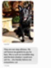 long coat solid black german shepherd, w