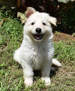 white male long coat german shepherd pup