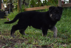 black and tan large german shepherd pupp