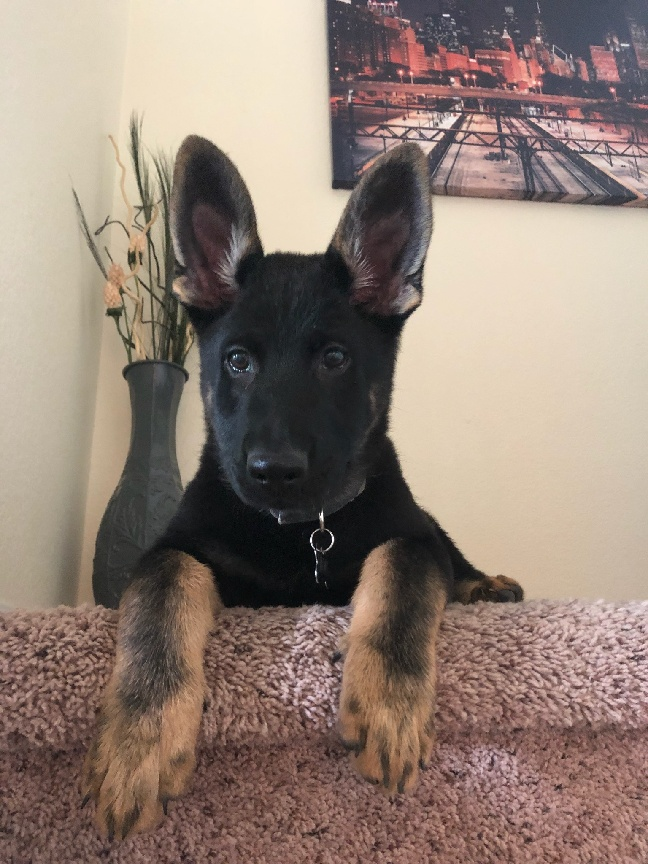 bicolor german shepherd puppy