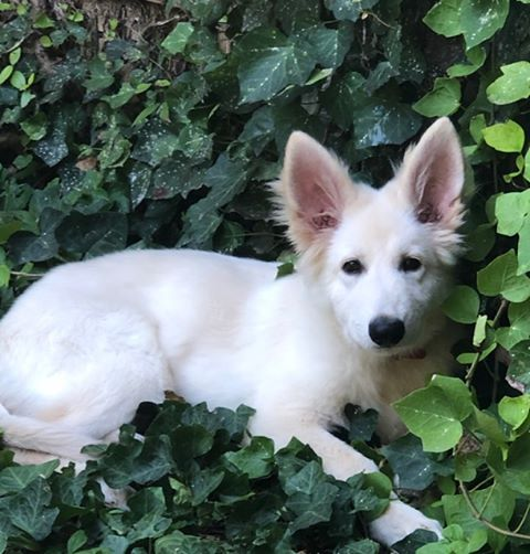 white long coat german shepherd puppy