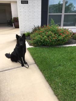 solid black long coat german shepherd ou